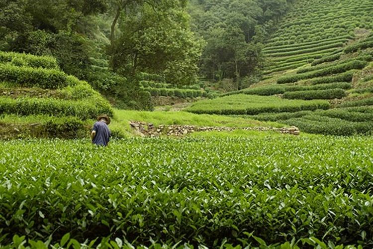 Amanfayun - Tea Fields - China