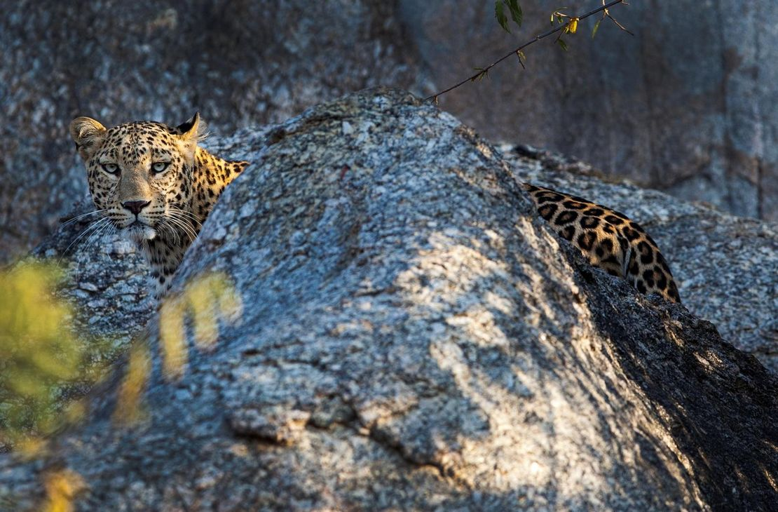 Jawai Leopard Camp - Leopard - India