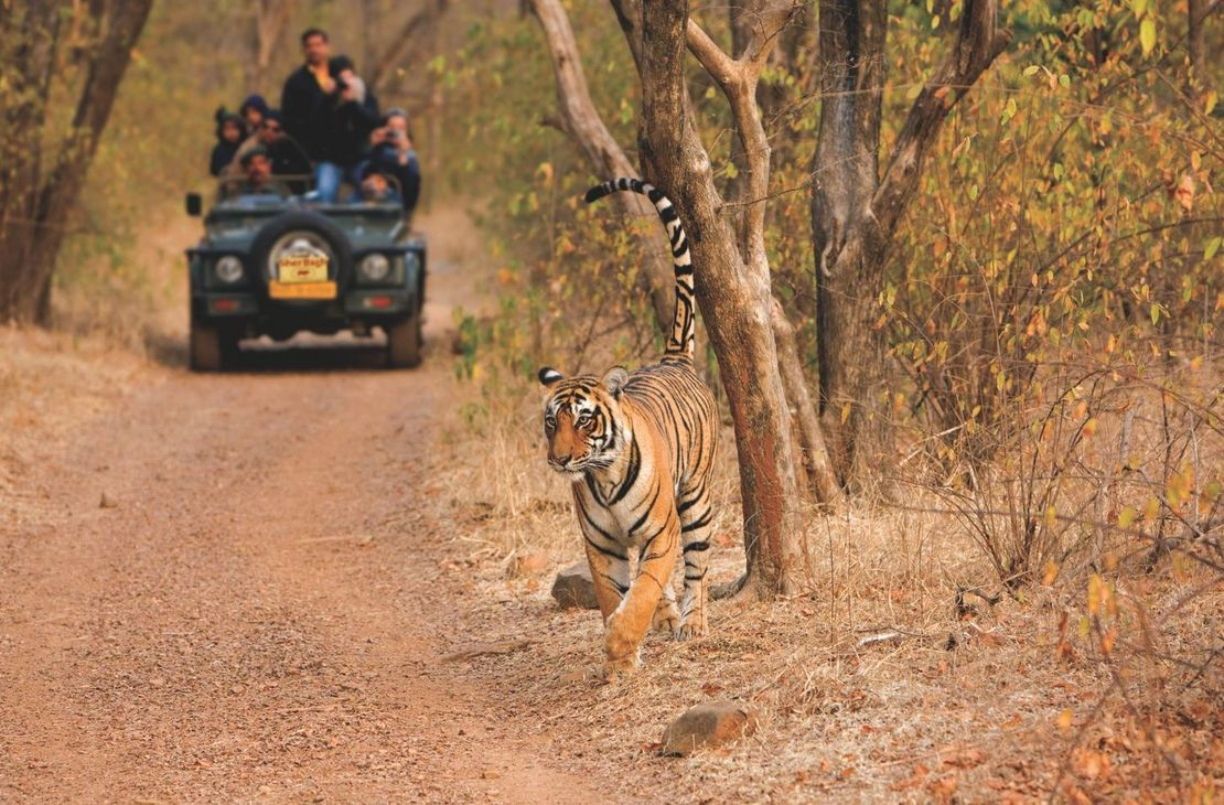 Sher Bagh - Tiger - India